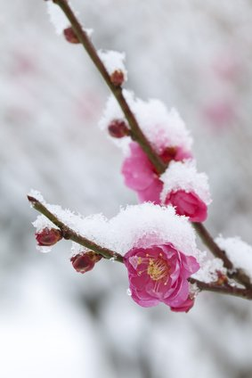 cherry blossom snow