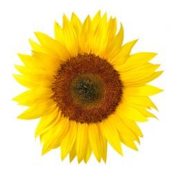 Die perfekte Sonnenblume auf weiß