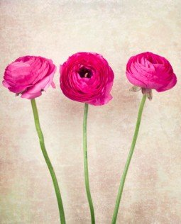 Three single ranunculus flowers on vintage background