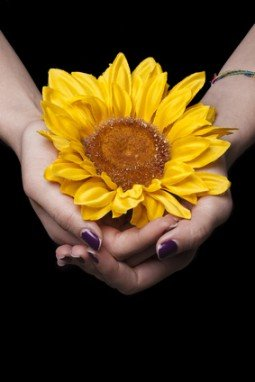 Female hands holding sunflower