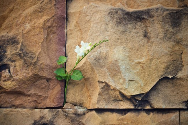 50572155 - white flower growing on crack stone wall soft focus, blank text