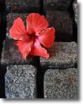 flower on cobbles