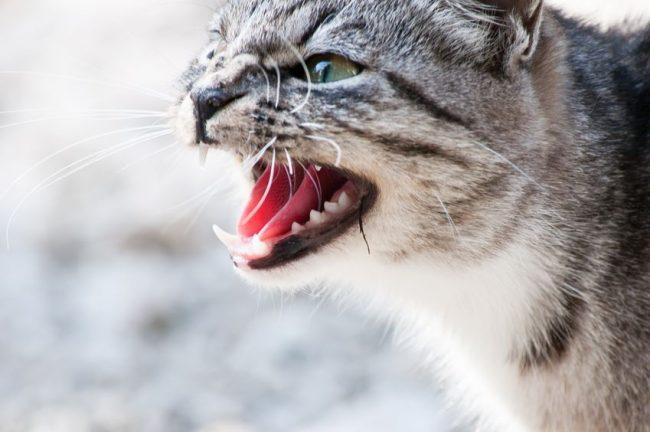 wildcat snarling
