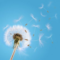 Dandelion seeds blown in the sky