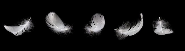 white swan feather on the black background